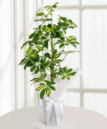 Schefflera Saksı Çiçeği